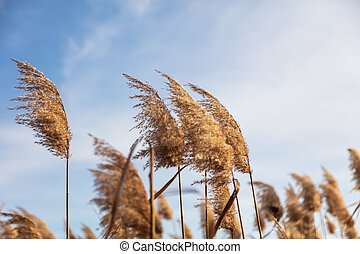 Reed on a background of blue sky in autumn.