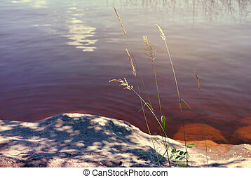 reed on a blue water surface background. Sunset shooting