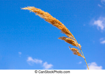 Reed on blue sky