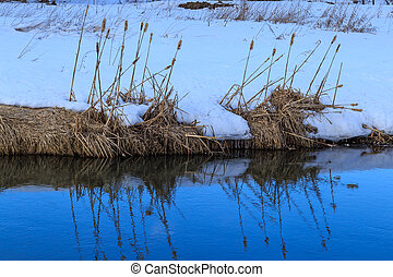 Reed on the shore of a small river, just got off the ice