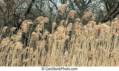 Reed shaking on wind