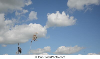 reed sky - Reed stems move in wind against blue cloudy sky.