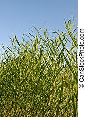 reed stems on blue sky