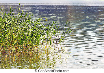 reed stems on water