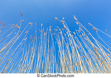 Reed stems with plumes against blue sky in spring