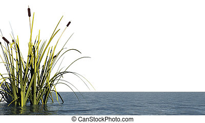 reed at water - isolated 3d illustration
