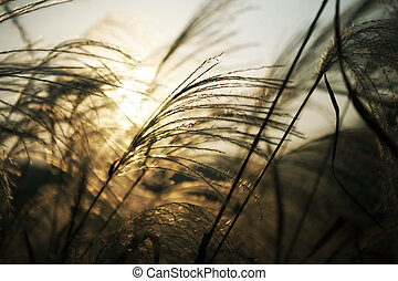 Reed - Autumn reed with sunset