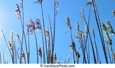 Reed tips sunlight - Reed tips moving in sunlight with small...