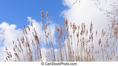 Reed vegetation moved by wind blue sky with clouds