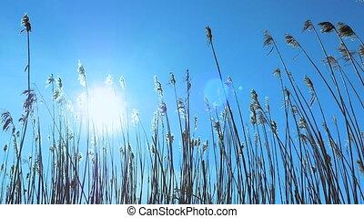 Reed vegetation sun flare - Reed vegetation moving in...