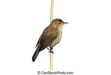 Reed warbler, Acrocephalus scirpaceus, single bird on...