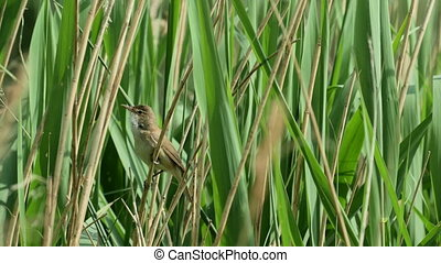 Reed Warbler bird(Acrocephalus scirpaceus) singing from a reedbed