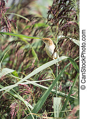 Reed Warbler, Acrocephalus scirpaceus. Perched on reed.