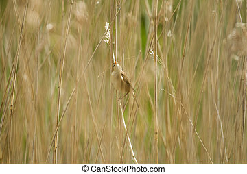 Reed Warbler - Adullt Reed Warbler in reedbed with nesting...