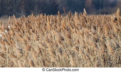 Reed waving in the wind