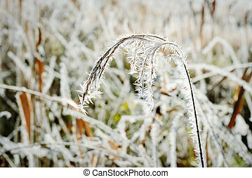 reed with rime frost crystals in winter time