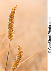reed with sunrise light