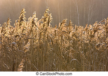 Reedbed at sunset - Covered by snow bulrush at sunset