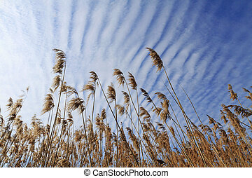 Reedbeds and beautiful sky, blue sky and clouds striped