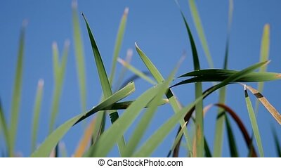 Reeds and blue sky in the wind