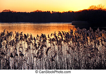 Reeds and rushes on a lake side