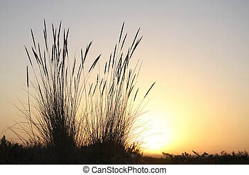Tall reeds at sunset with the sun shining in the background. Horizontal shot.