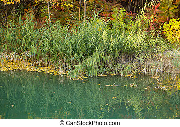 reeds at the lake in autumn