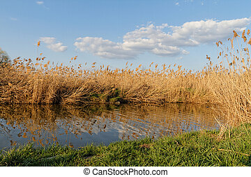 Reeds at the lake