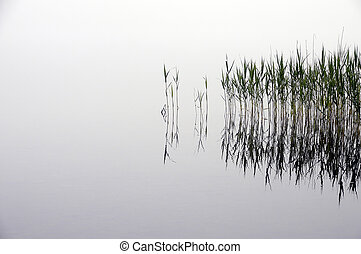 Reeds bed and fog, in water, landscape at Grandvaux lake, or...
