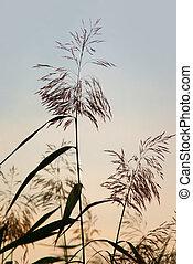 Reeds - Close up of reeds on crisp sky