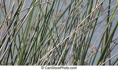 reeds close up - view of reeds next to a pond