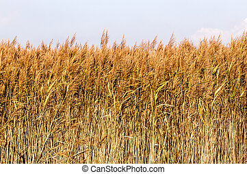 Reeds - Dryed reed stalks in a reed bed