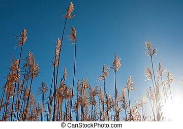 reeds, hos, blå himmel, hos, solopgang, oppe kigg