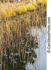 Reeds in Abant Lake