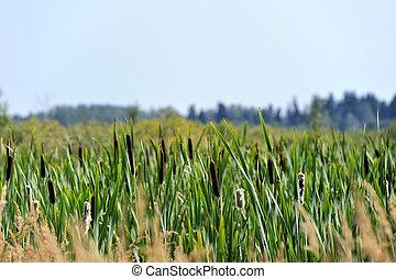 Reeds in the marsh