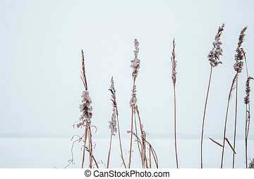 Reeds in the snow on the shore of a frozen river