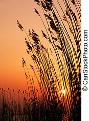 Reeds in the sun. Image shows reeds against a setting sun