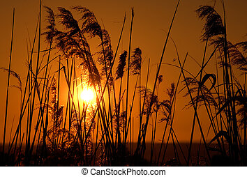 Reeds in the sun - Silhouettes of reeds against a warm ...