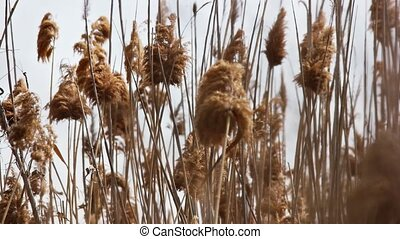 Reeds In The Wind ???? ??????