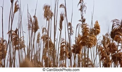 Reeds In The Wind Warm Autumnal Colors Clip