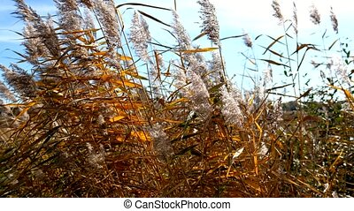 Reeds in the wind with autumnal colors - detail shot