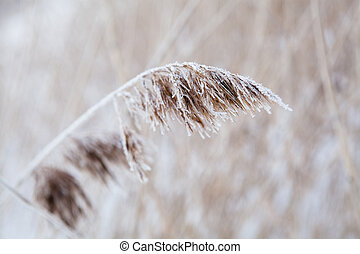 Reeds in winter - Closeup of the leaves of a reed during ...