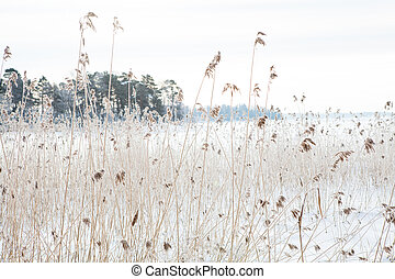 Reeds in winter - Long reeds on the shoreline during winter ...