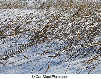 Reeds in winter snow