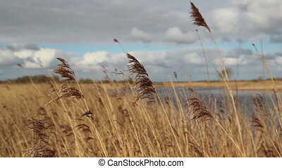 Reeds moving in the wind