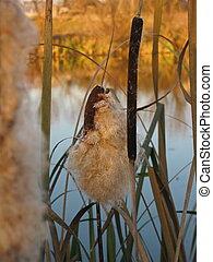 Reeds on a pond