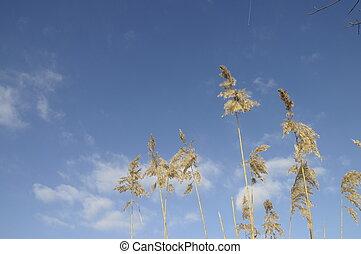 Reeds on blue sky