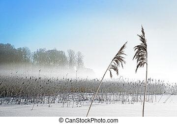 reeds on lake in winter