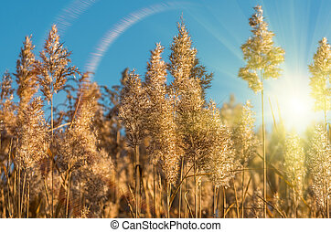 reeds on the background of the sun