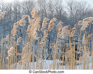 Reeds on the background of winter forest